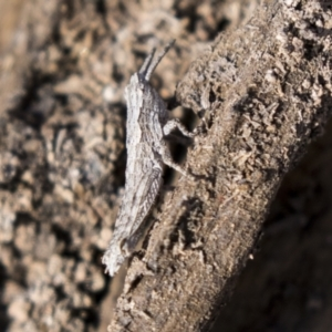 Coryphistes ruricola at Theodore, ACT - 28 Apr 2021