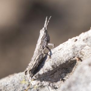 Coryphistes ruricola at Tuggeranong Hill - 28 Apr 2021
