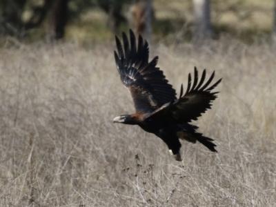 Aquila audax (Wedge-tailed Eagle) at Tuggeranong Homestead - 8 Jun 2021 by RodDeb