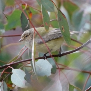Smicrornis brevirostris at Namadgi National Park - 8 Jun 2021