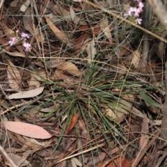 Stylidium graminifolium (Grass Triggerplant) at Downer, ACT - 8 Jun 2021 by TimL