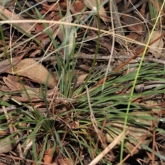 Stylidium graminifolium at ANBG - 8 Jun 2021