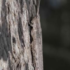 Coryphistes ruricola at ANBG - 8 Jun 2021