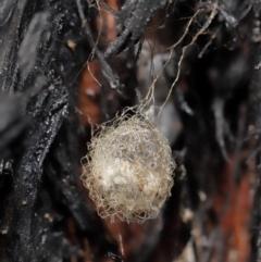 Australomimetus sp. (genus) (Unidentified Pirate spider) at Acton, ACT - 8 Jun 2021 by TimL