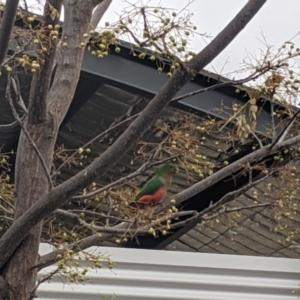 Alisterus scapularis (Australian King-Parrot) at Albury by Darcy