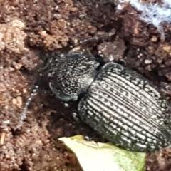 Adelium porcatum (Darkling Beetle) at Crace Grasslands - 9 Jun 2021 by tpreston