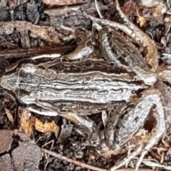 Limnodynastes peronii (Brown-striped Frog) at Mitchell, ACT - 9 Jun 2021 by tpreston