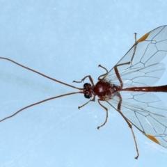 Megaceria pagana (Ctenopelmatinae parasitic wasp) at Ainslie, ACT - 7 Jun 2021 by jbromilow50