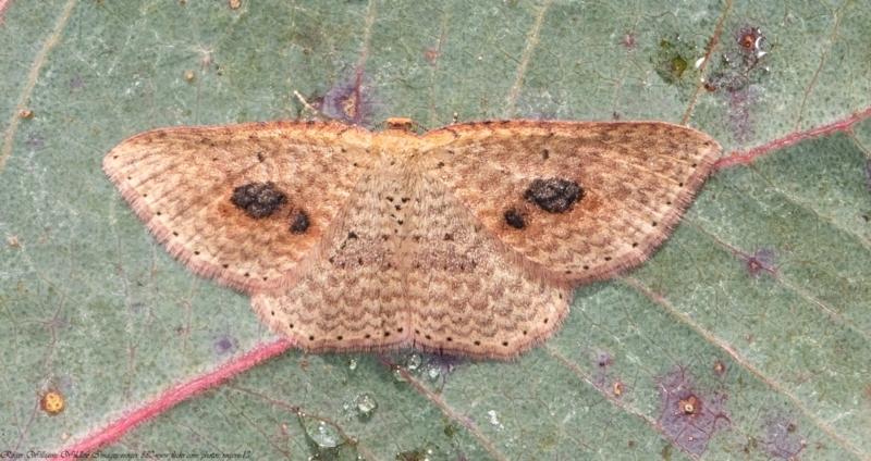 Epicyme rubropunctaria at Woodstock Nature Reserve - 9 Jun 2021