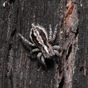 Euophryinae sp. (Mr Stripey) undescribed at suppressed - 8 Jun 2021