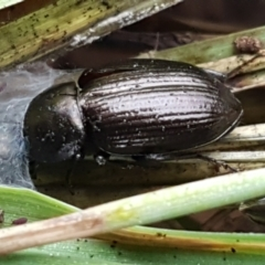Adelium brevicorne (Bronzed field beetle) at Molonglo River Park - 9 Jun 2021 by tpreston