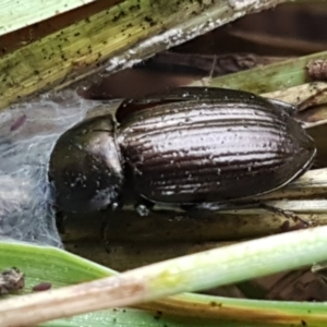 Adelium brevicorne at Molonglo River Park - 9 Jun 2021