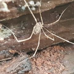 Opiliones (order) (Unidentified harvestman) at Molonglo River Park - 9 Jun 2021 by tpreston