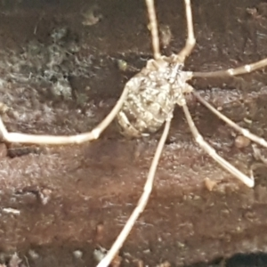 Opiliones (order) at Molonglo River Park - 9 Jun 2021