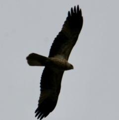 Haliastur sphenurus (Whistling Kite) at Albury - 9 Jun 2021 by PaulF