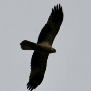 Haliastur sphenurus (Whistling Kite) at Albury by PaulF