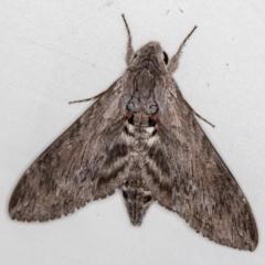 Agrius convolvuli (Convolvulus Hawk Moth) at Melba, ACT - 22 Oct 2020 by Bron