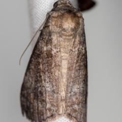 Stibaroma (genus) (A Line-moth.) at Melba, ACT - 22 Oct 2020 by Bron