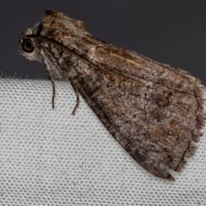 Stibaroma (genus) at Melba, ACT - 22 Oct 2020