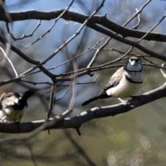 Taeniopygia bichenovii (Double-barred Finch) at Stony Creek - 13 Apr 2021 by JohnHurrell
