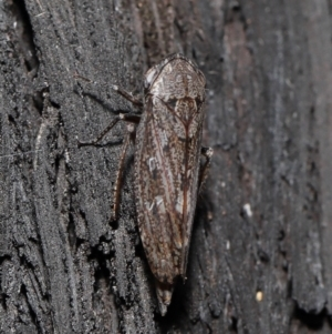 Cicadellidae sp. (family) at ANBG - 8 Jun 2021