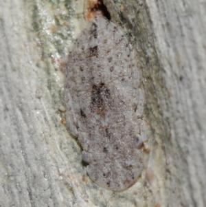 Ledrinae sp. (subfamily) at ANBG - 8 Jun 2021