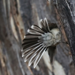 Rhipidura albiscapa (Grey Fantail) at Mount Ainslie - 9 Jun 2021 by jbromilow50