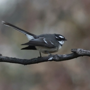 Rhipidura albiscapa at Mount Ainslie - 9 Jun 2021