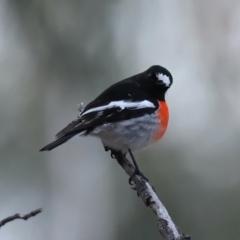 Petroica boodang (Scarlet Robin) at Mount Ainslie - 9 Jun 2021 by jbromilow50