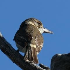 Cracticus torquatus (Grey Butcherbird) at Majura, ACT - 6 Jun 2021 by jbromilow50