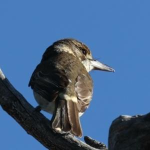 Cracticus torquatus at Mount Ainslie - 6 Jun 2021