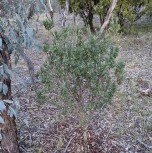 Styphelia triflora at Mount Majura - 7 Jun 2021