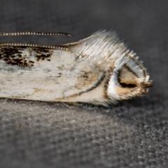Gracillariidae (family) at Melba, ACT - 20 Oct 2020