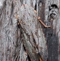 Stenocotis depressa (Gum bark leafhopper) at ANBG - 8 Jun 2021 by TimL