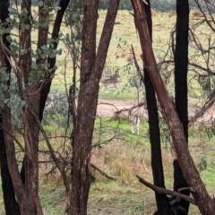 Dama dama (Fallow Deer) at Splitters Creek, NSW - 9 Jun 2021 by ChrisAllen