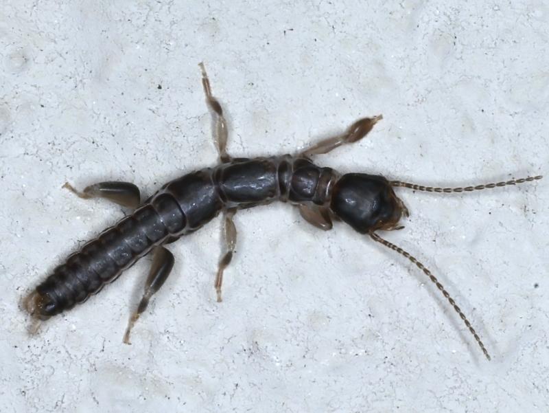 Metoligotoma sp. (genus) at Ainslie, ACT - 2 Jun 2021