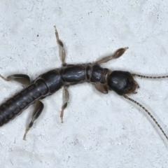 Metoligotoma sp. (genus) (Webspinner) at Ainslie, ACT - 2 Jun 2021 by jbromilow50