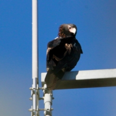 Aquila audax (Wedge-tailed Eagle) at Springdale Heights, NSW - 10 Jun 2021 by PaulF