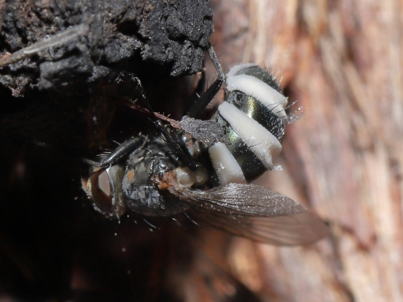 Entomophthora sp. (genus) at ANBG - 10 Jun 2021