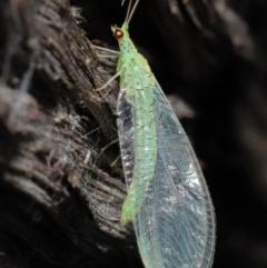 Pseudomallada edwardsi (A Green Lacewing) at ANBG - 10 Jun 2021 by TimL