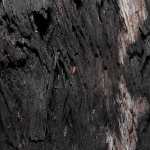 Hypogastrura sp. (genus) at ANBG - 10 Jun 2021