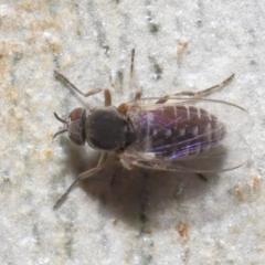 Ceratopogonidae (family) at ANBG - 10 Jun 2021