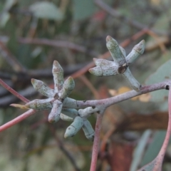 Eucalyptus nortonii (Large-flowered Bundy) at Conder, ACT - 30 Mar 2021 by michaelb