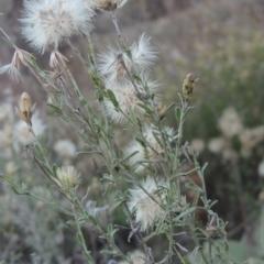 Vittadinia cuneata var. cuneata (Fuzzy New Holland Daisy) at Conder, ACT - 30 Mar 2021 by michaelb