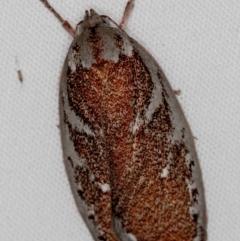 Euchaetis rhizobola (A Concealer moth) at Melba, ACT - 18 Oct 2020 by Bron