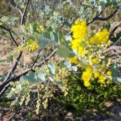Acacia podalyriifolia (Sunshine Wattle) at Isaacs, ACT - 30 May 2021 by Mike