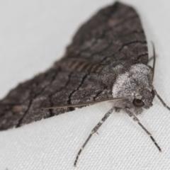 Dysbatus undescribed species (A Line-moth) at Melba, ACT - 18 Oct 2020 by Bron