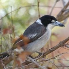 Cracticus torquatus (Grey Butcherbird) at Ainslie, ACT - 8 Jun 2021 by jbromilow50