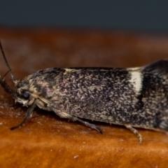 Leistomorpha brontoscopa (A concealer moth) at Melba, ACT - 15 Oct 2020 by Bron