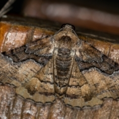 Aporoctena undescribed species (A Geometrid moth) at Melba, ACT - 15 Oct 2020 by Bron